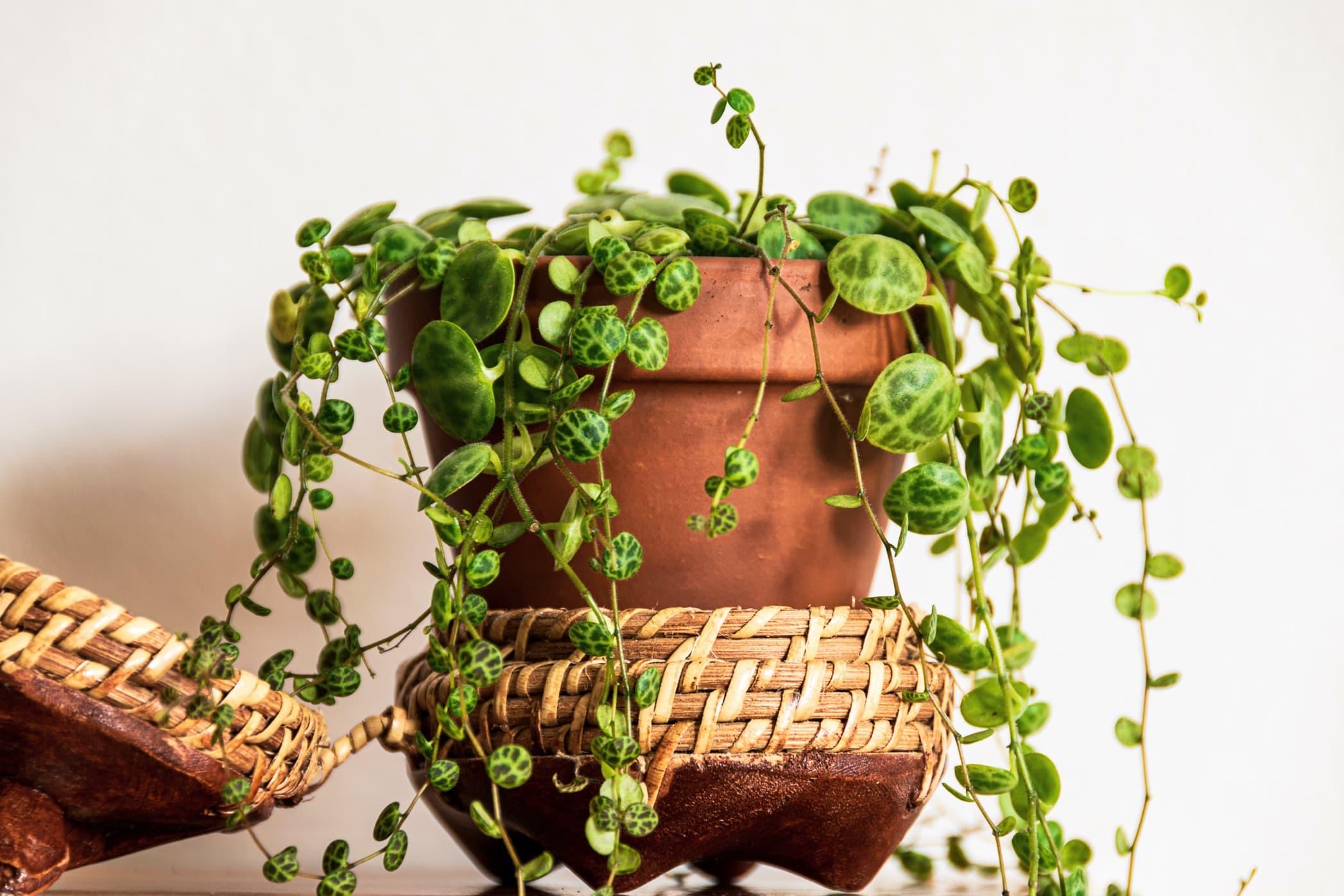 10 Trailing Indoor Houseplants for UK Homes