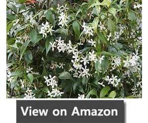 Fast Growing Climber - Trachelospermum Jasminoides (Star Jasmine)