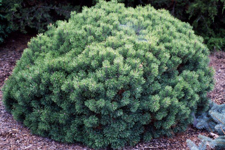 8 Best Dwarf Evergreen Trees for Your Garden