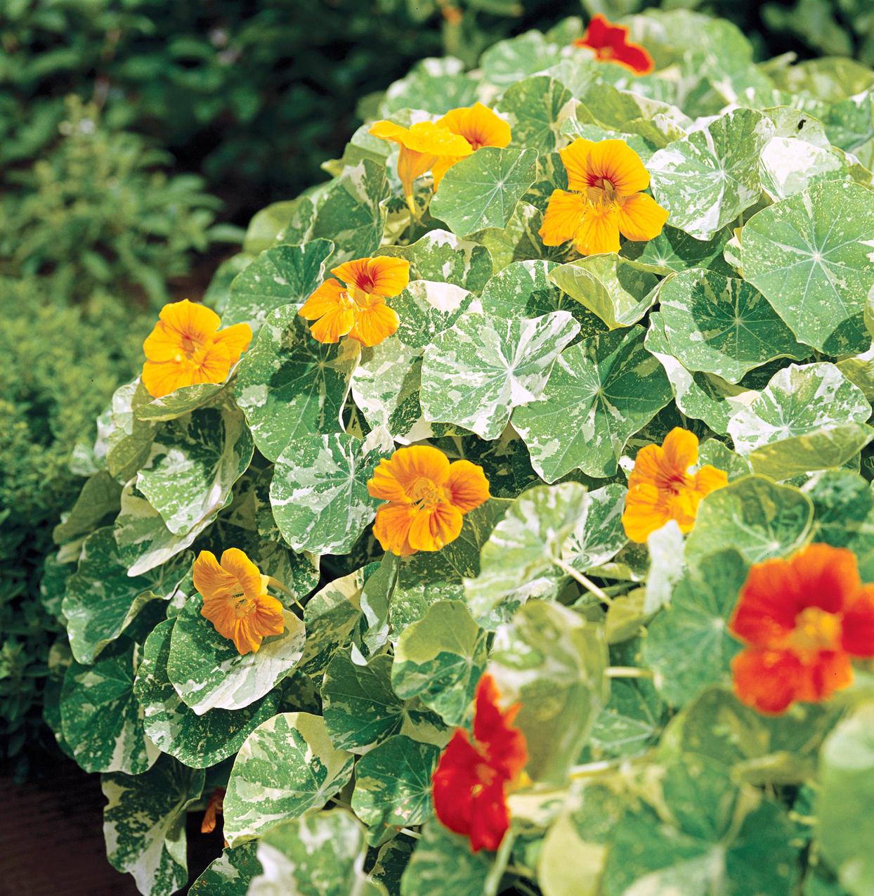 Annual Nasturtium Orange Flower Decor Plant