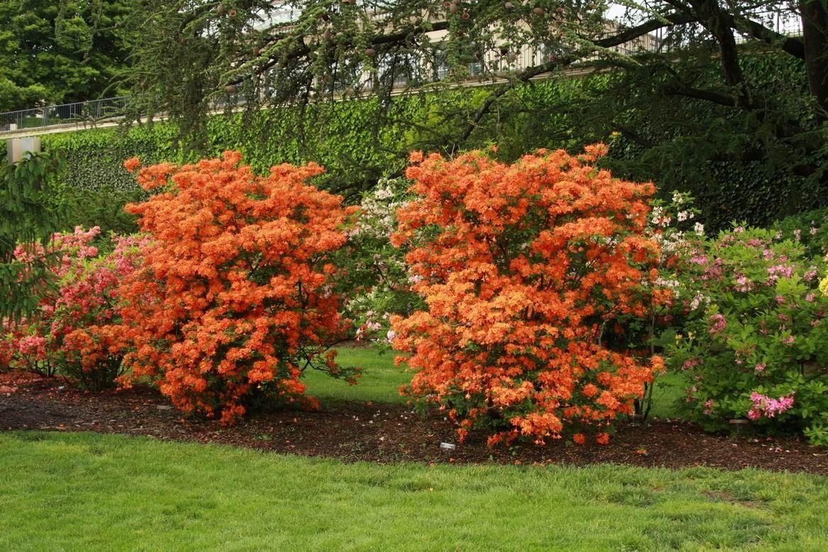 Azalea Orange Shrubs