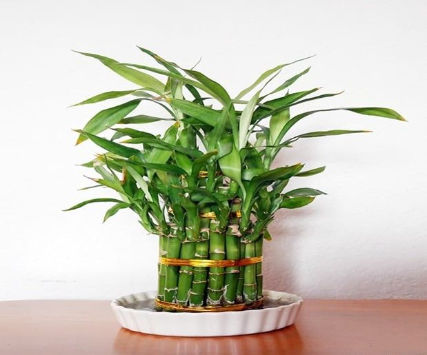 Bamboo Care- How to Grow Tips in the UK