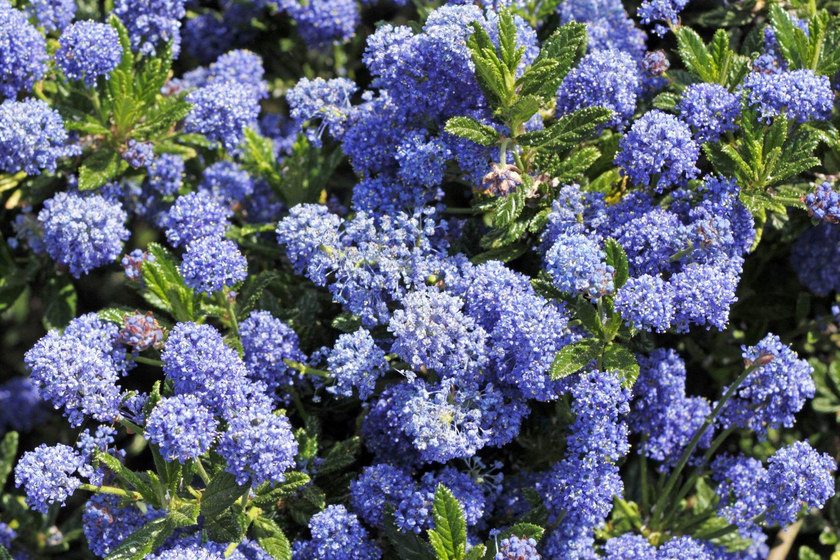 Californian Lilac Shrub