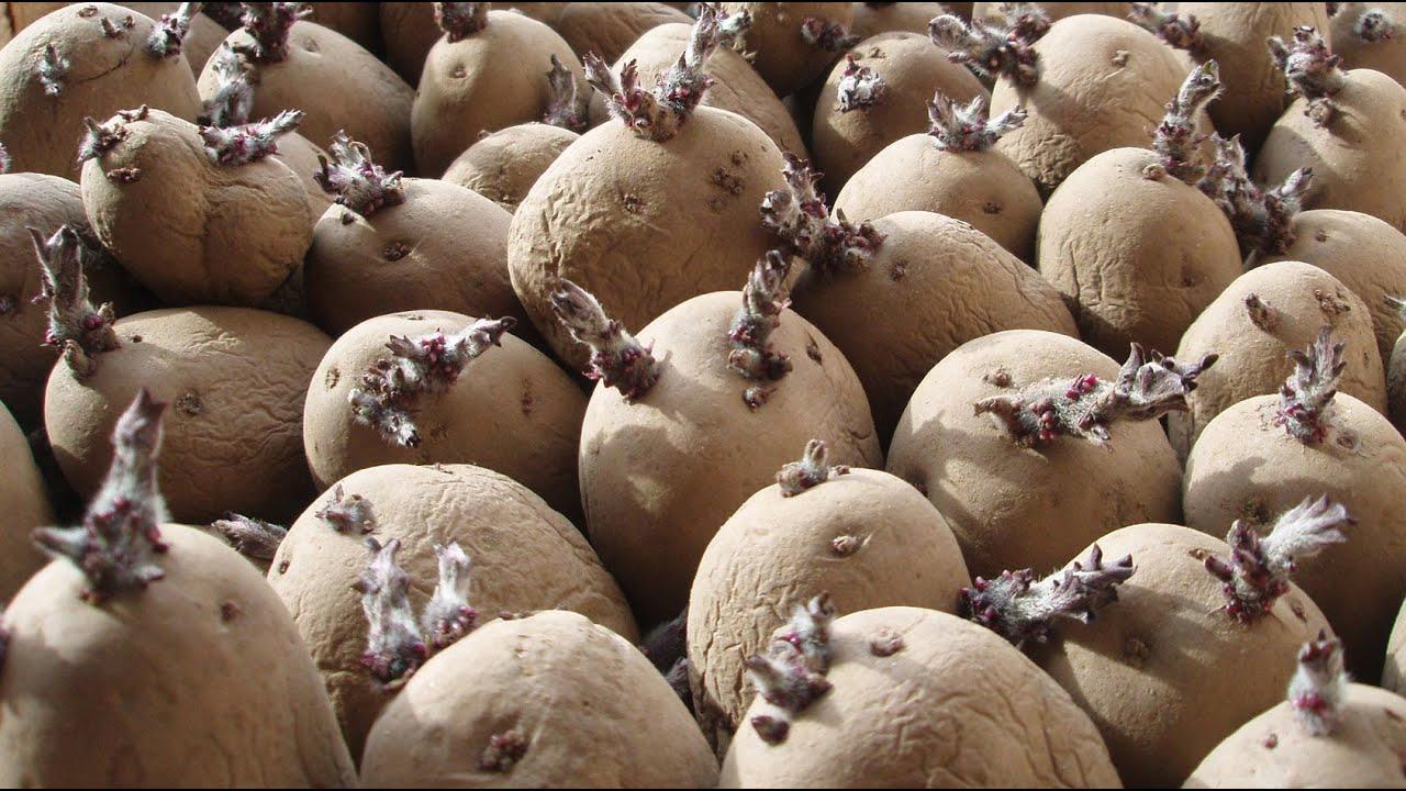 Chitting The Seed Potatoes