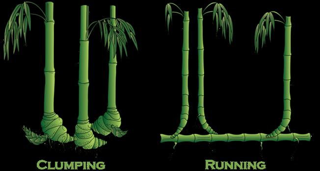 Clumping Vs. Running Type Bamboos