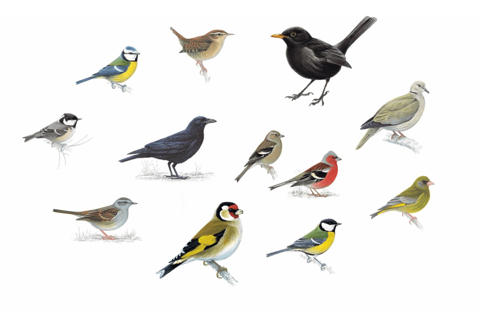 Common Garden Birds in the UK