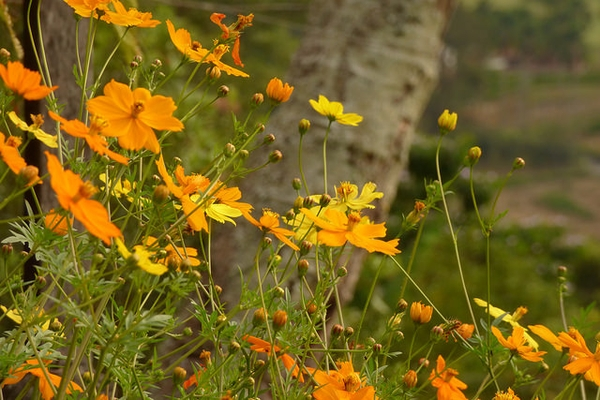 Cosmos Sulphur Orange Plants