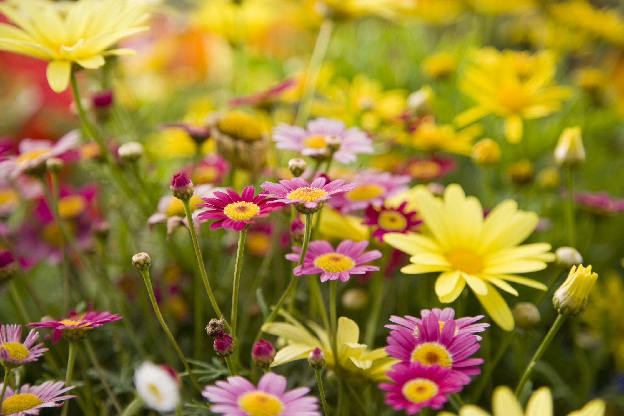 Daisy Flowers Greenery Shrubs Flower Garden