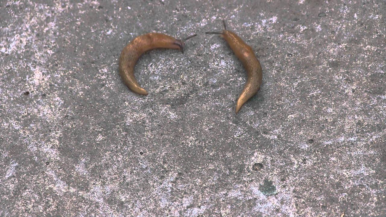 Fighting Slugs