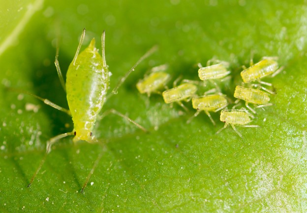 Greenfly and Aphids