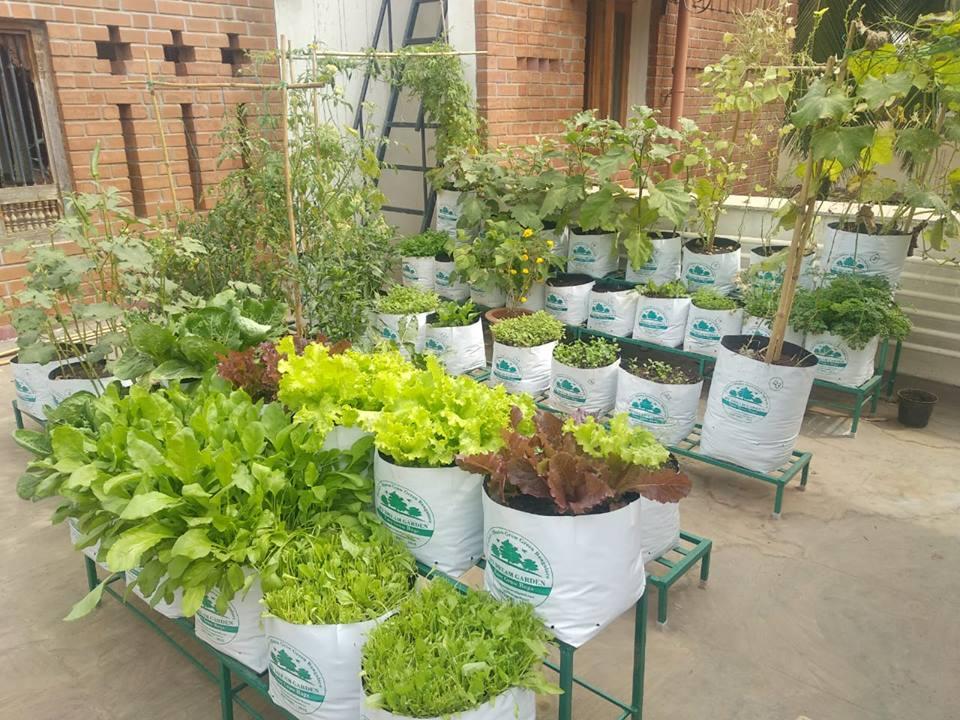 Growing Potato in A Pot