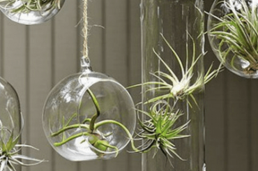 How to Care for Air Plants Growing Tips