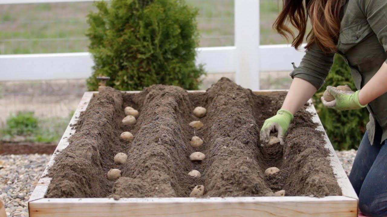 How to Grow Potatoes in Your Garden
