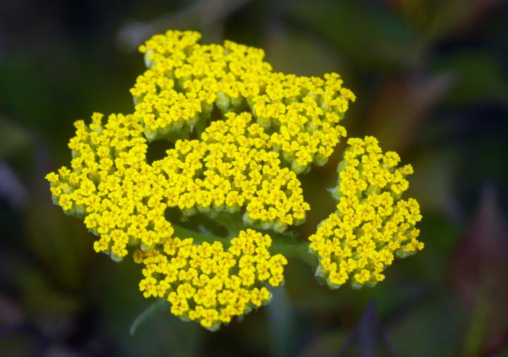 How to Plant and Care for Achillea Yarrows Plants