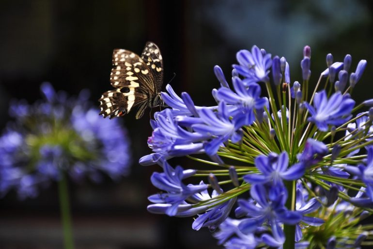Learn how to Grow and Take Care of Agapanthus 'African Lily.'