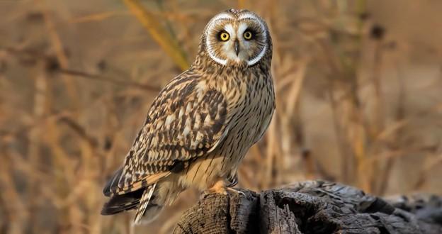 Short- Eared Owl