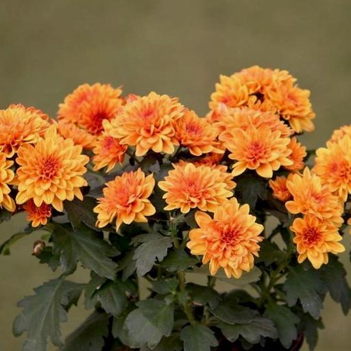 Silk Orange and Cream Mini Chrysanthemum bush with Leaves