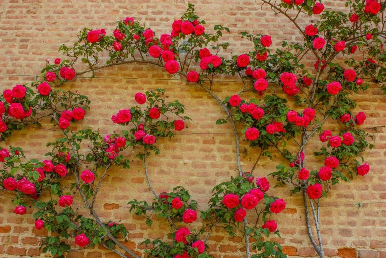 The Best Climbing Roses for Shade
