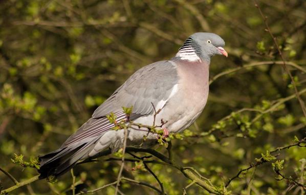 The Wood Pigeons