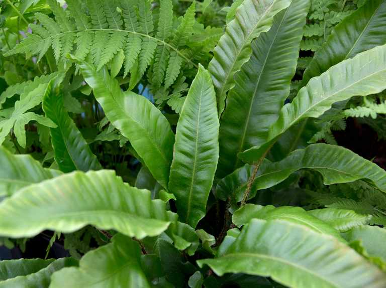 Types of Fern to Grow in the UK