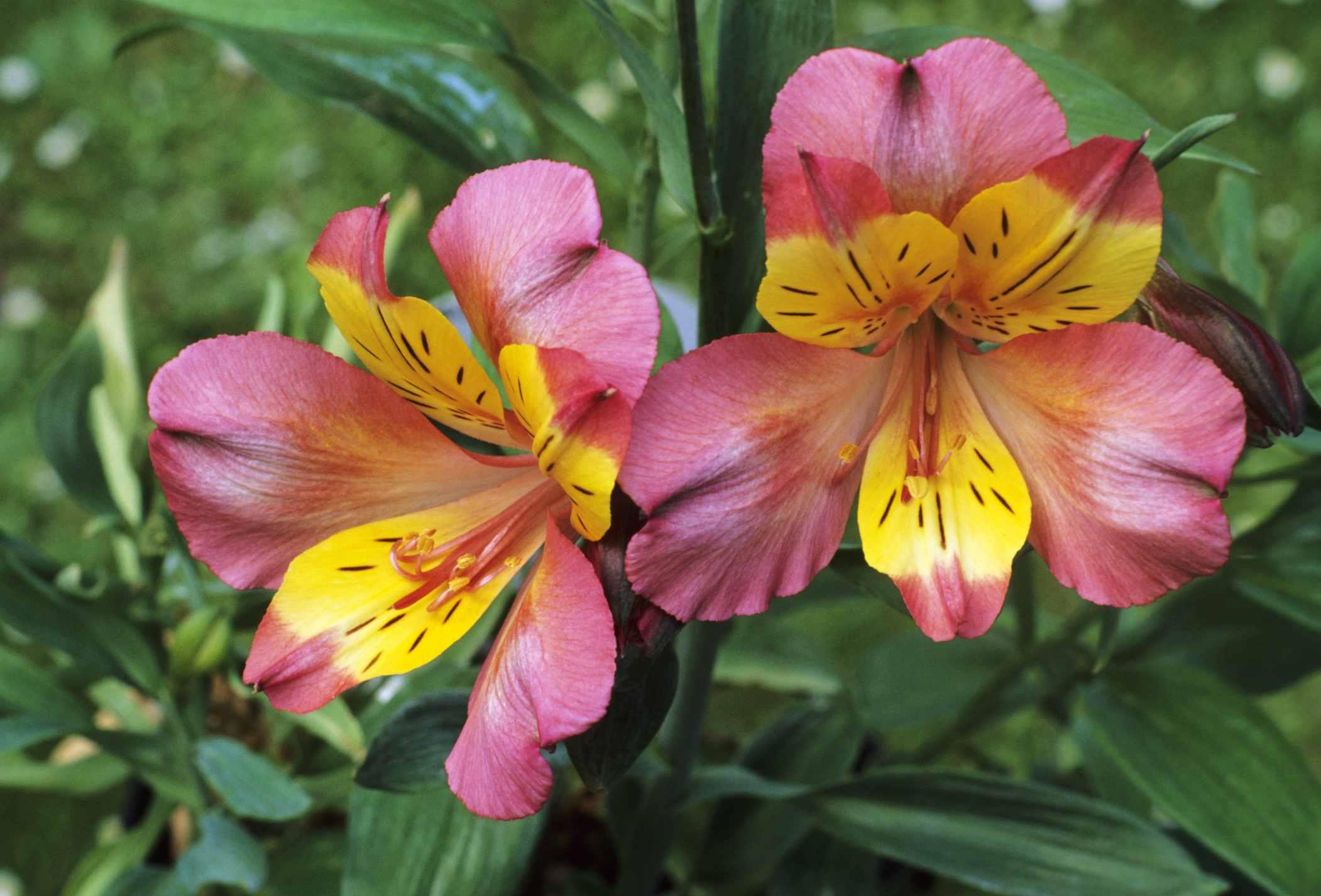 Varieties of Peruvian Lily