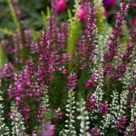 Winter Flowering Plants and Shrubs In UK