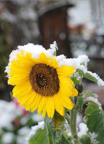 Winter Sun flower