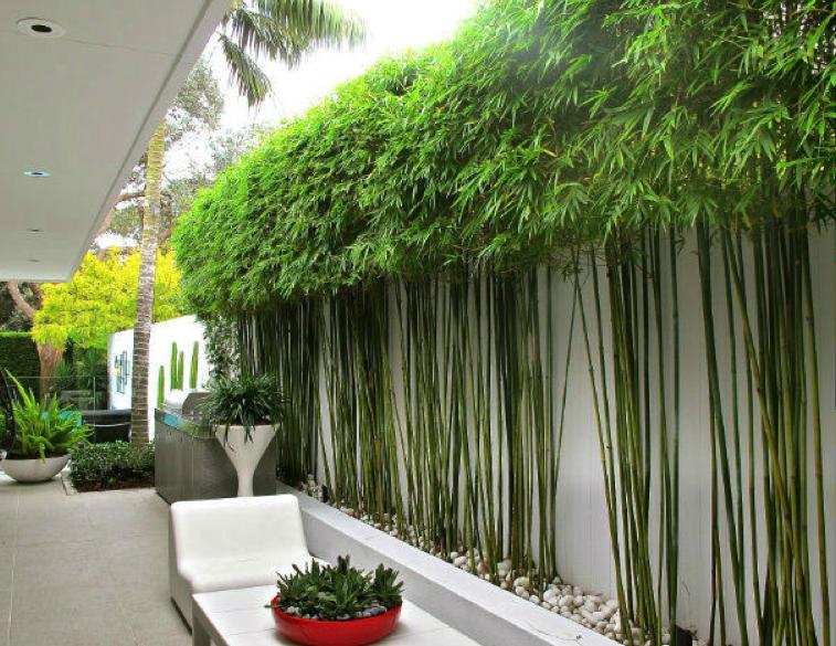 bamboo trees Garden Screening