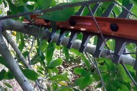 Cutting branches using hedge trimmer